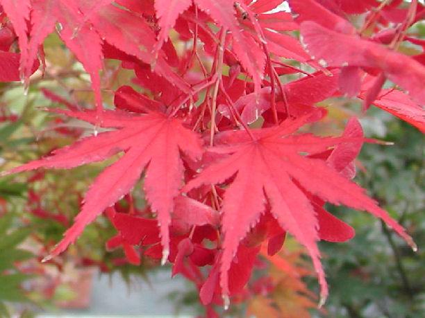 Vivaio Acero Rosso : Acer masu kagami il garden vivai savegnago