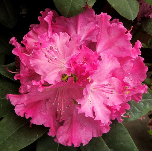 Rhododendron germania il garden vivai savegnago - Rododendro prezzo ...