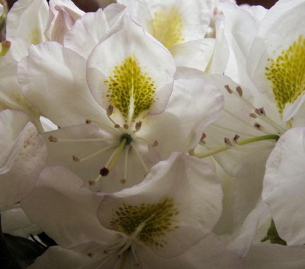 Rododendro madame masson il garden vivai savegnago - Rododendro prezzo ...