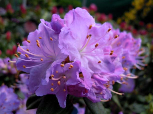 Rododendro blue diamond il garden vivai savegnago - Rododendro prezzo ...