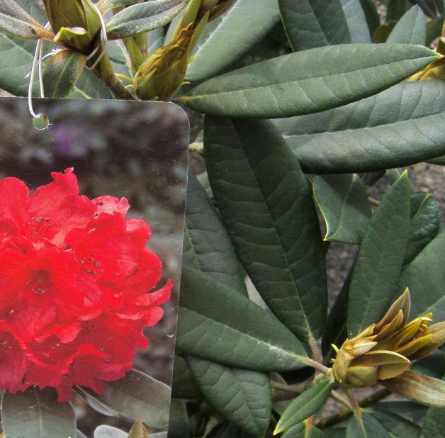 Rododendro vulcan 39 s flame il garden vivai savegnago - Rododendro prezzo ...