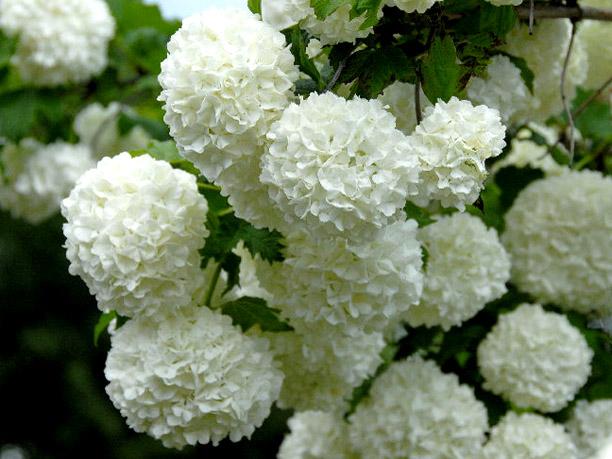 Fiori Bianchi A Palla.Viburnum Opulus Roseum Il Garden Vivai Savegnago
