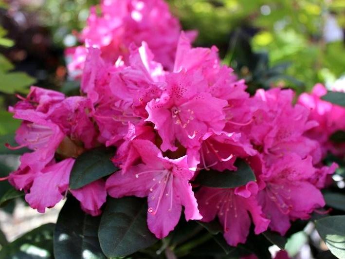 Rododendro rocket il garden vivai savegnago - Rododendro prezzo ...