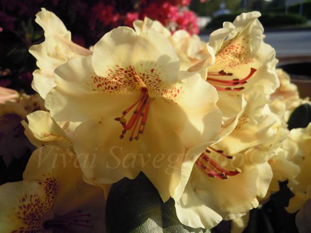 Rhododendron viscy il garden vivai savegnago - Rododendro prezzo ...
