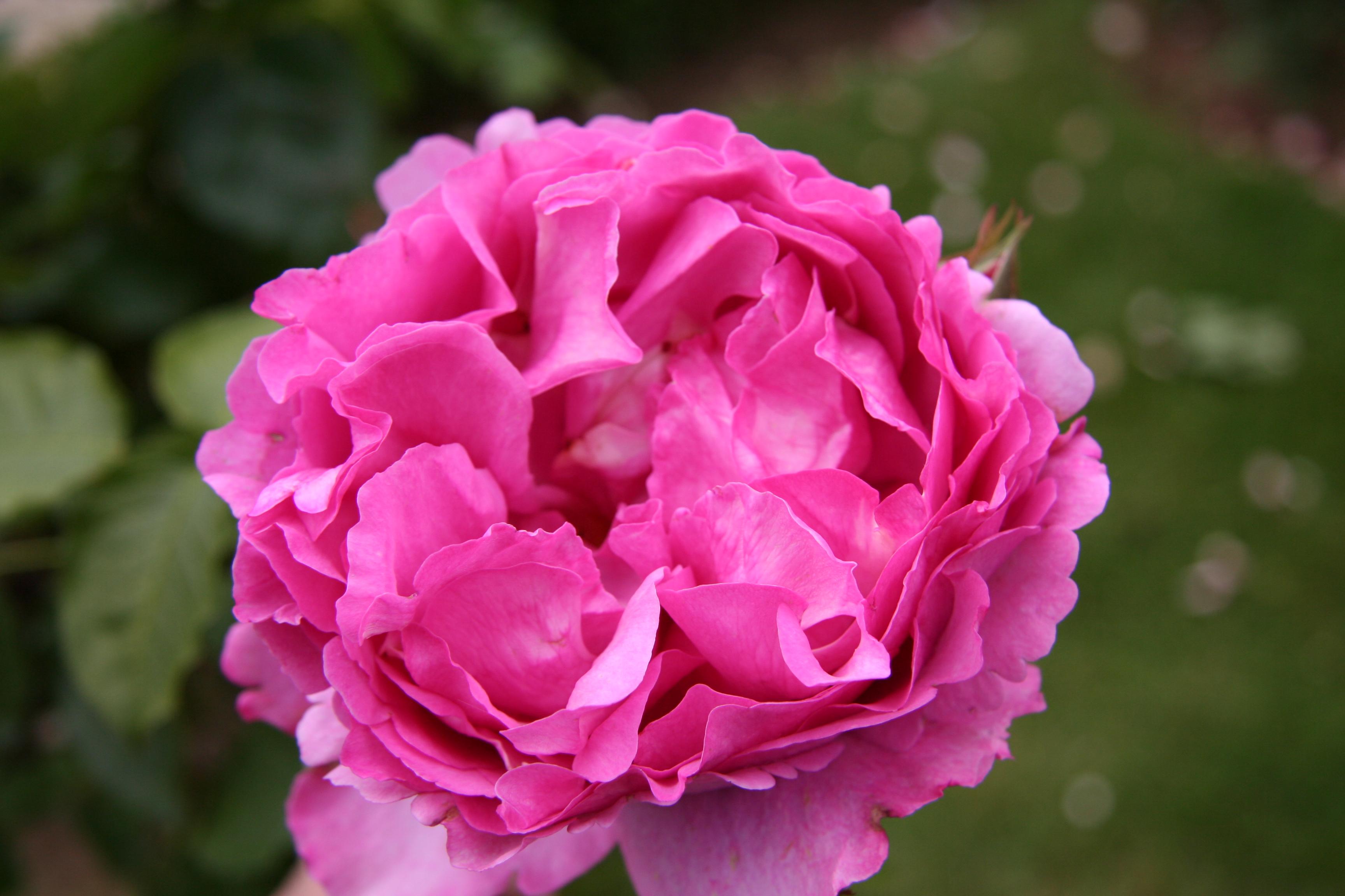Rose Rampicanti Senza Spine rosa yves piaget® (meivildo/keitsupiatsu) - rampicante v24/10lt.